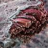 Жизнь под микроскопом. Мышечное волокно под микроскопом.